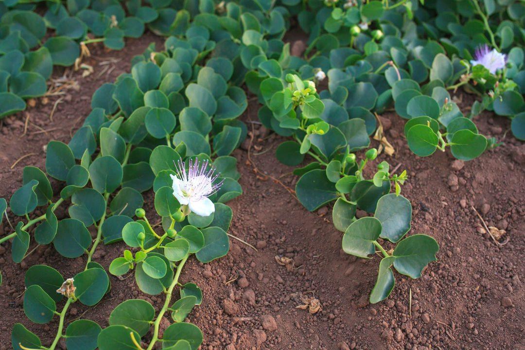 Capers plant, Pantelleria